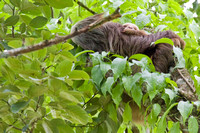 Hoffmann's Two-Toed Sloth w/ Infant